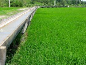 اجرای طرح نوبت بندی آب کشاورزی در گیلان ضروری است